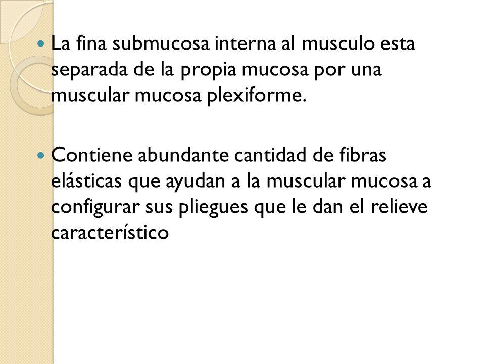La fina submucosa interna al musculo esta separada de la propia mucosa por una muscular mucosa plexiforme.