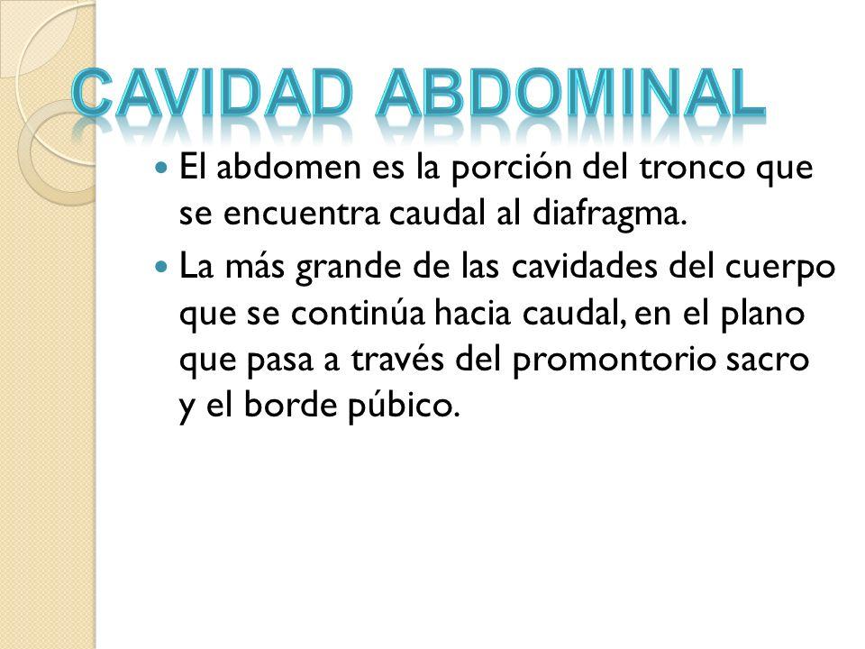 Cavidad abdominal El abdomen es la porción del tronco que se encuentra caudal al diafragma.