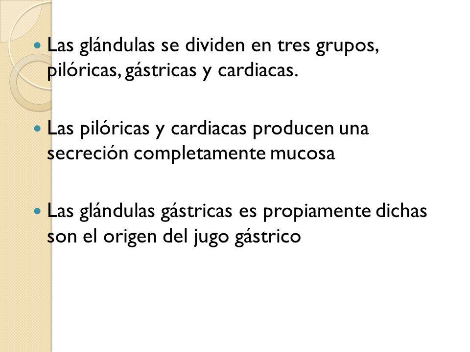 Las glándulas se dividen en tres grupos, pilóricas, gástricas y cardiacas.