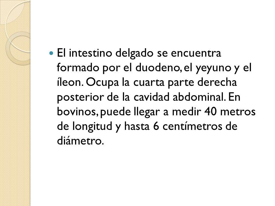 El intestino delgado se encuentra formado por el duodeno, el yeyuno y el íleon.
