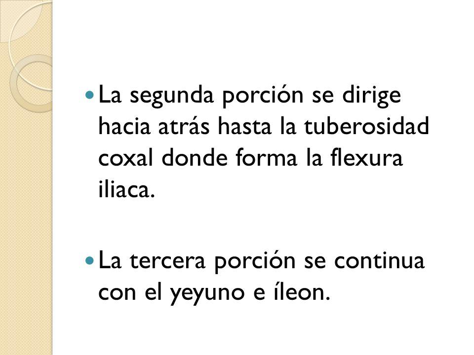 La segunda porción se dirige hacia atrás hasta la tuberosidad coxal donde forma la flexura iliaca.
