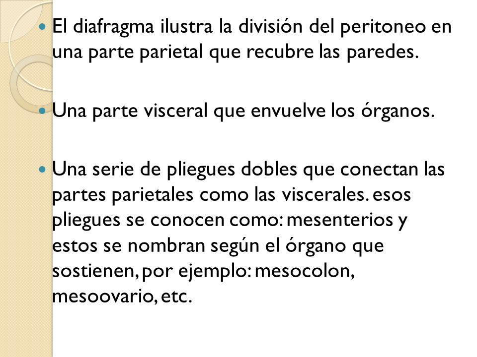 El diafragma ilustra la división del peritoneo en una parte parietal que recubre las paredes.