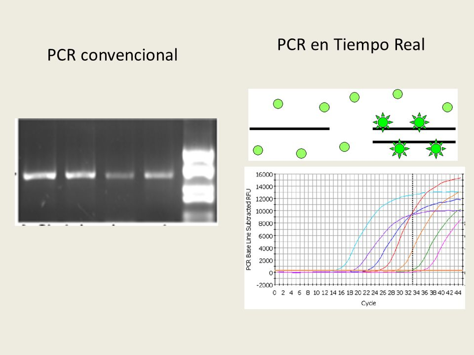 PCR en Tiempo Real PCR convencional