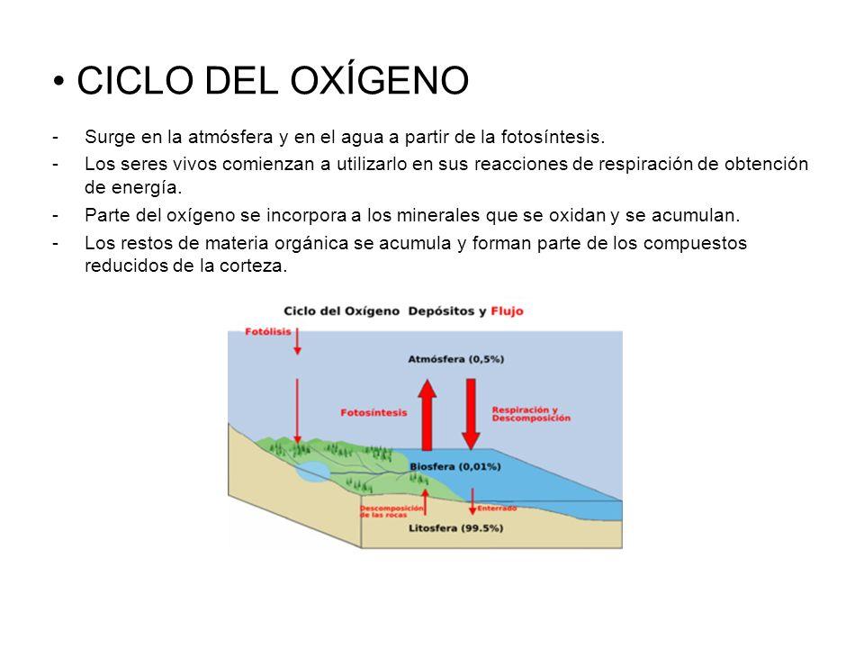 CICLO DEL OXÍGENO Surge en la atmósfera y en el agua a partir de la fotosíntesis.