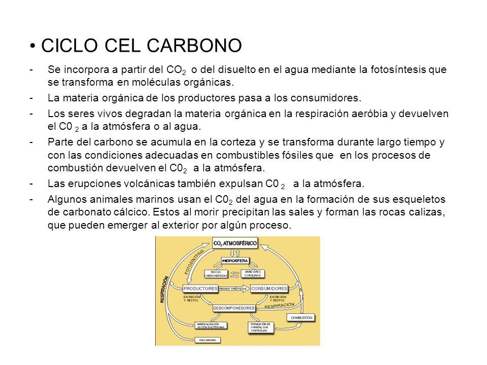 CICLO CEL CARBONOSe incorpora a partir del CO2 o del disuelto en el agua mediante la fotosíntesis que se transforma en moléculas orgánicas.