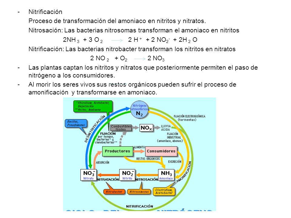 NitrificaciónProceso de transformación del amoniaco en nitritos y nitratos.