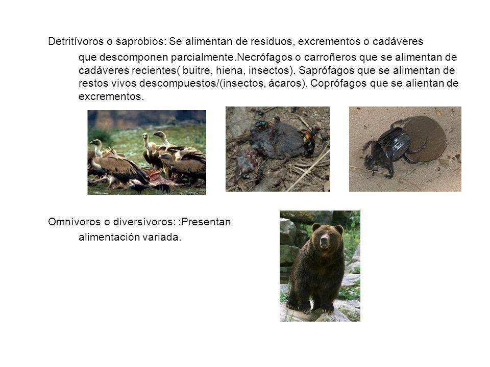 Detritívoros o saprobios: Se alimentan de residuos, excrementos o cadáveres que descomponen parcialmente.Necrófagos o carroñeros que se alimentan de cadáveres recientes( buitre, hiena, insectos). Saprófagos que se alimentan de restos vivos descompuestos/(insectos, ácaros). Coprófagos que se alientan de excrementos.