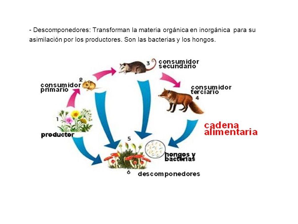 - Descomponedores: Transforman la materia orgánica en inorgánica para su asimilación por los productores.