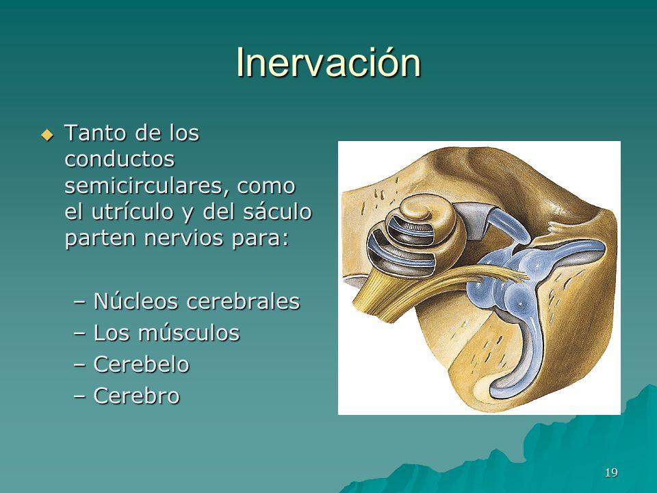 InervaciónTanto de los conductos semicirculares, como el utrículo y del sáculo parten nervios para: