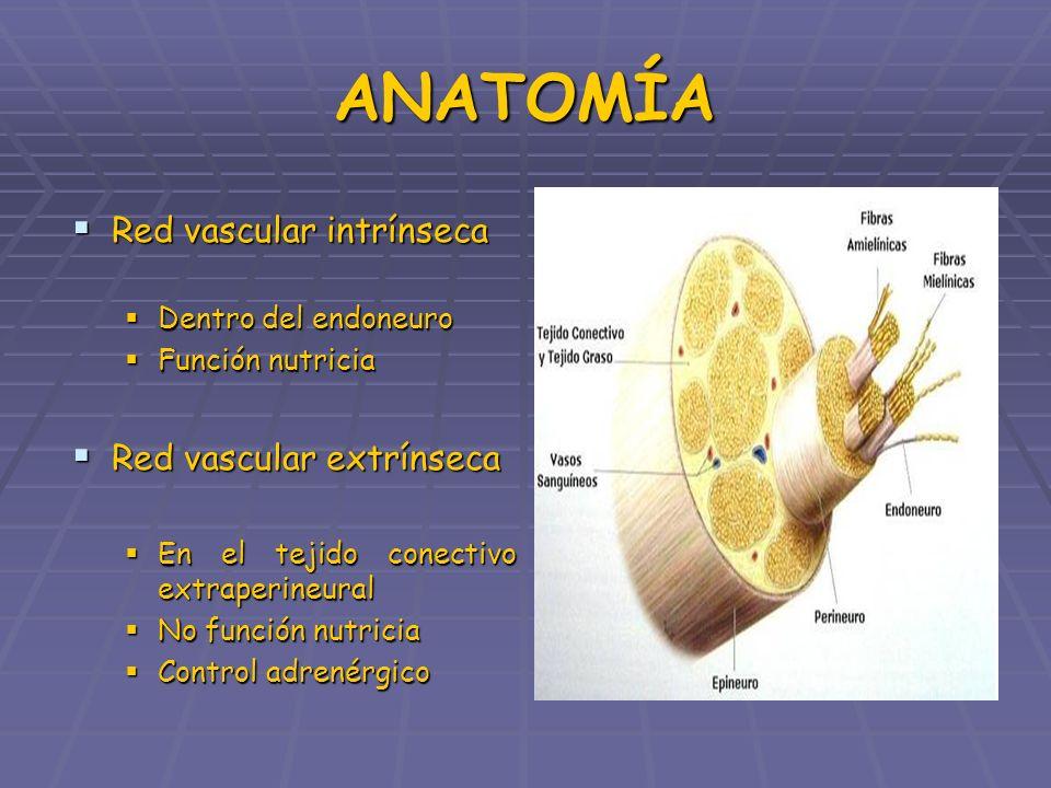 ANATOMÍA Red vascular intrínseca Red vascular extrínseca