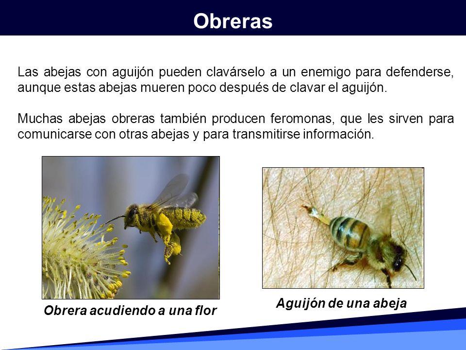 Obreras Las abejas con aguijón pueden clavárselo a un enemigo para defenderse, aunque estas abejas mueren poco después de clavar el aguijón.