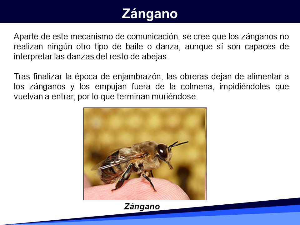 Zángano
