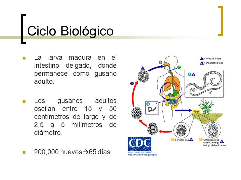 Ciclo Biológico La larva madura en el intestino delgado, donde permanece como gusano adulto.