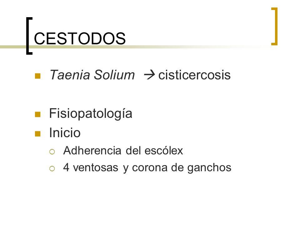 CESTODOS Taenia Solium  cisticercosis Fisiopatología Inicio