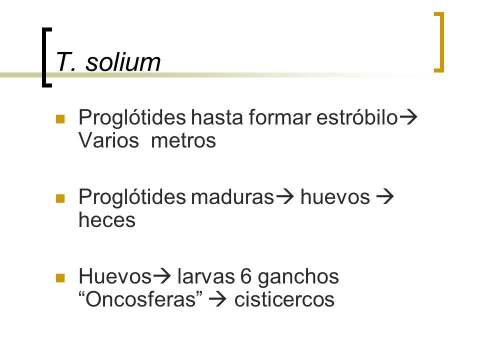 T. solium Proglótides hasta formar estróbilo Varios metros