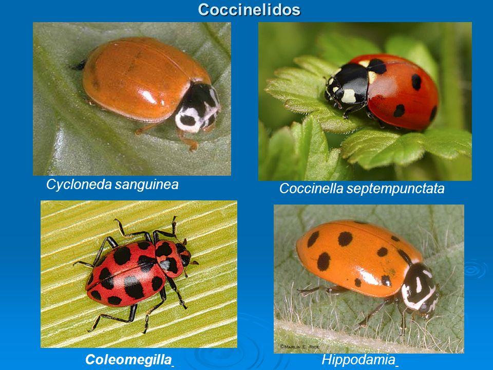 Coccinelidos Cycloneda sanguinea Coccinella septempunctata