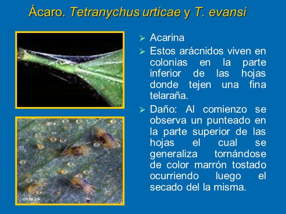 Ácaro. Tetranychus urticae y T. evansi