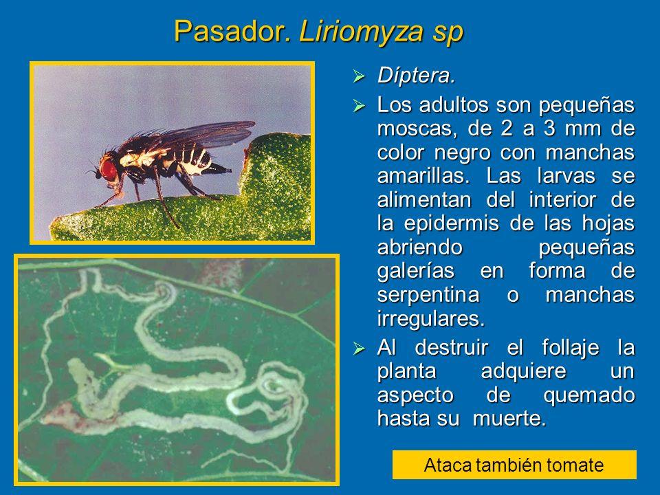 Pasador. Liriomyza sp Díptera.