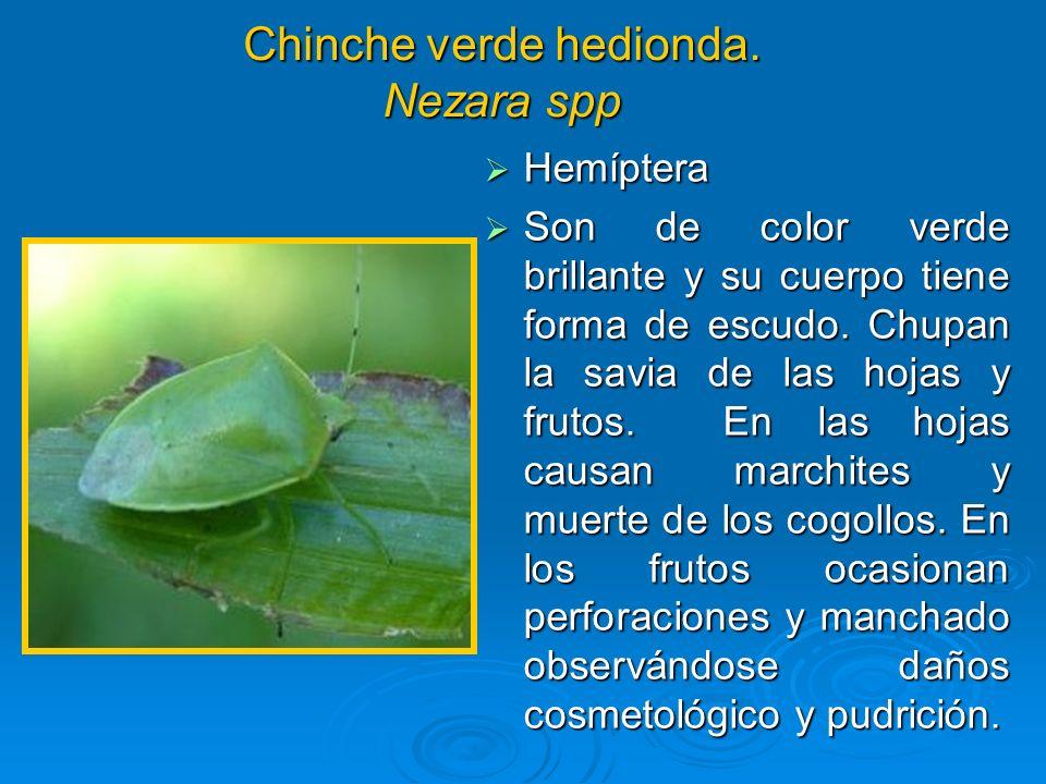 Chinche verde hedionda. Nezara spp