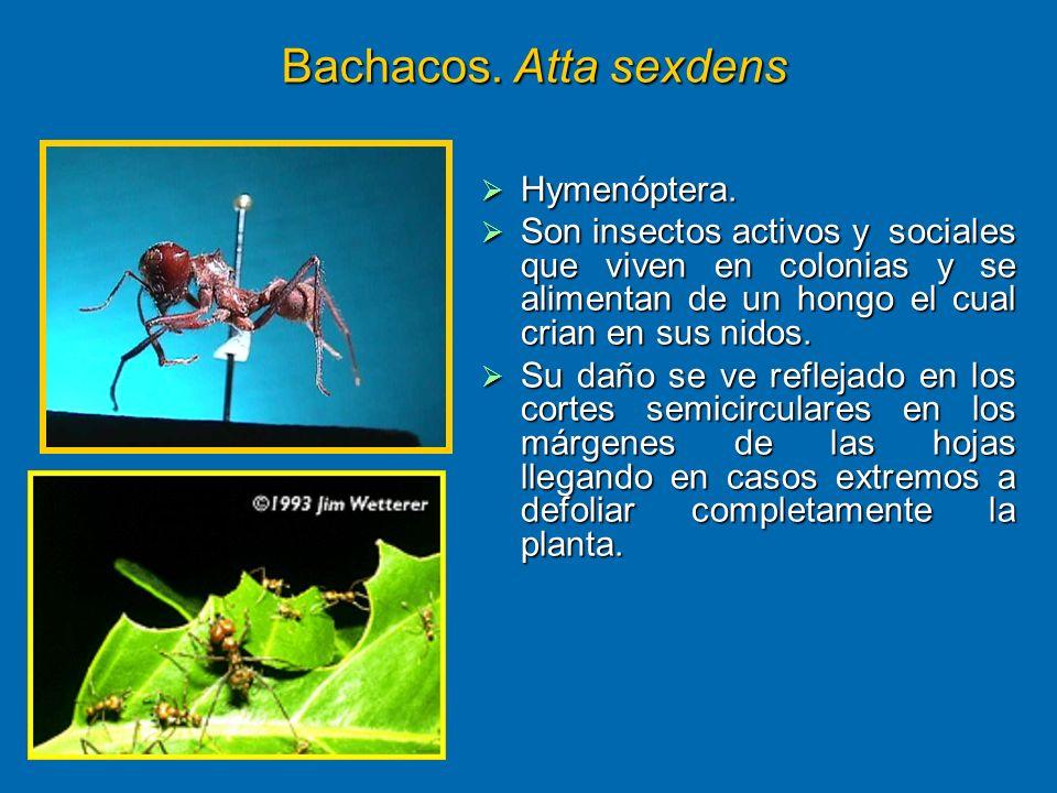 Bachacos. Atta sexdens Hymenóptera.