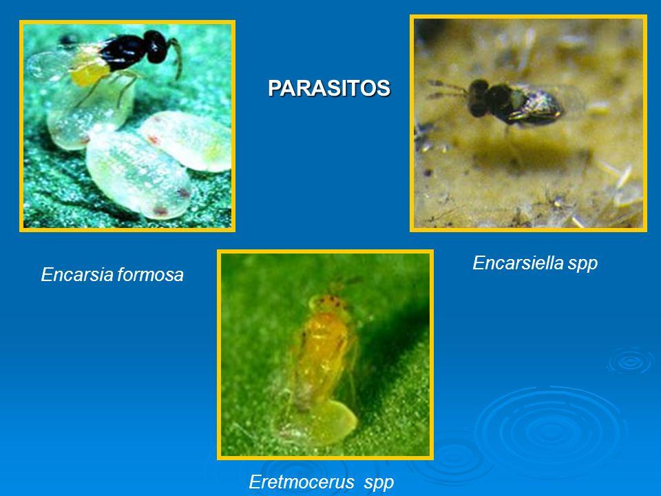 PARASITOS Encarsia formosa Encarsiella spp Eretmocerus spp
