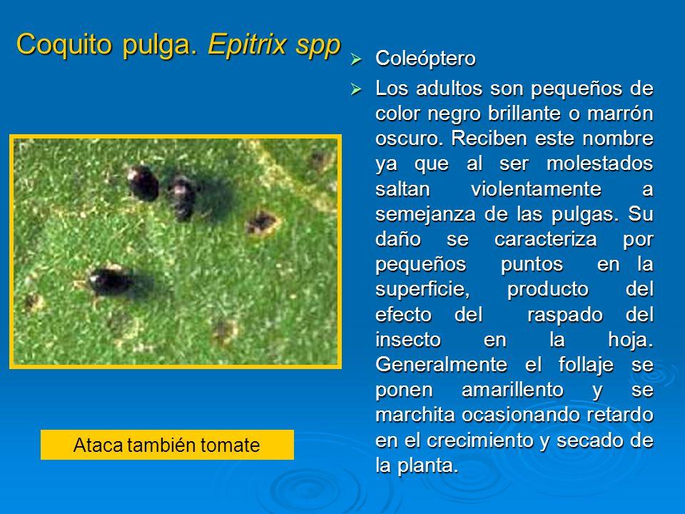 Coquito pulga. Epitrix spp