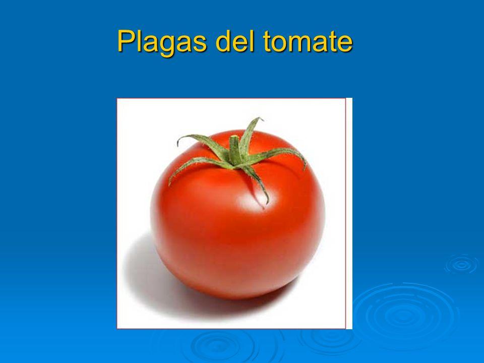 Plagas del tomate