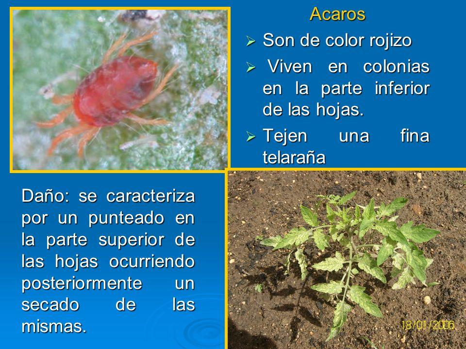 Acaros Son de color rojizo. Viven en colonias en la parte inferior de las hojas. Tejen una fina telaraña.