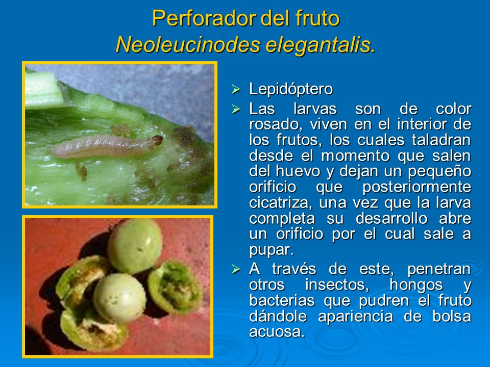 Perforador del fruto Neoleucinodes elegantalis.