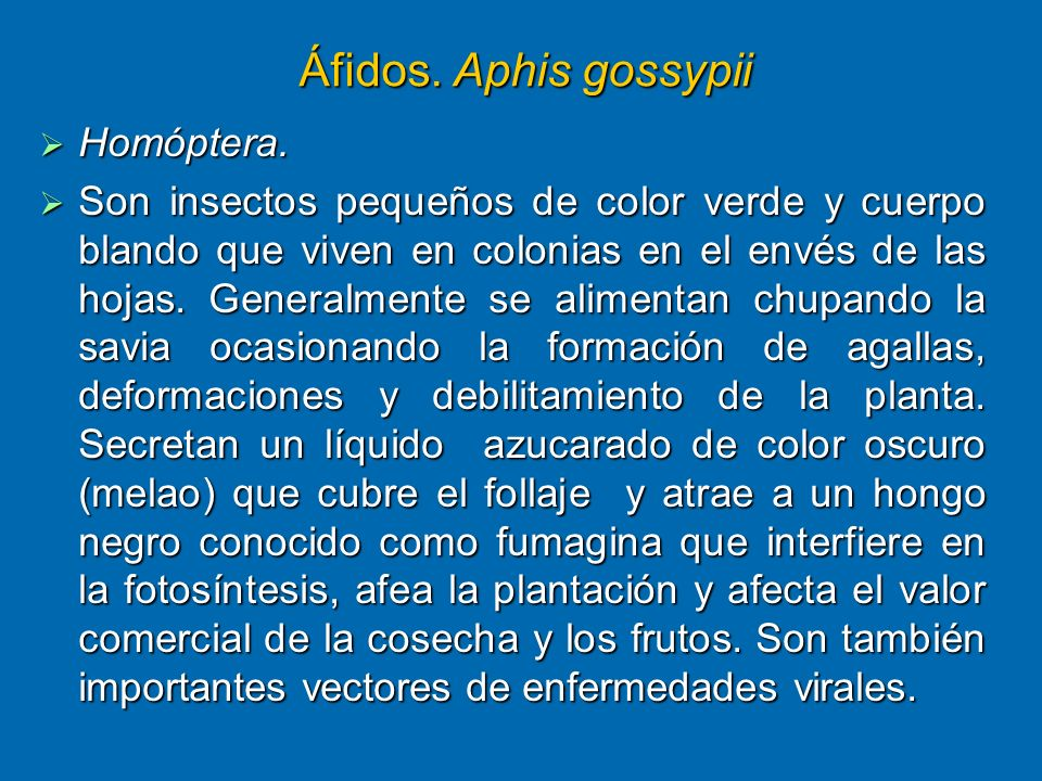 Áfidos. Aphis gossypii Homóptera.
