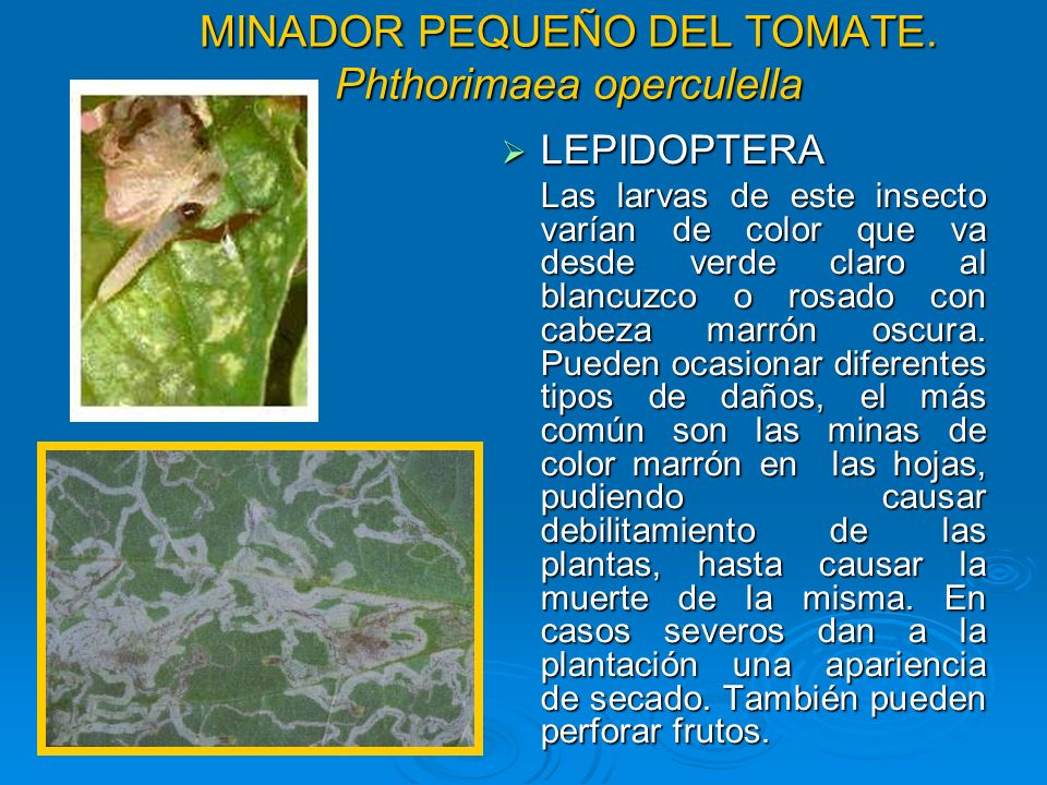 MINADOR PEQUEÑO DEL TOMATE. Phthorimaea operculella