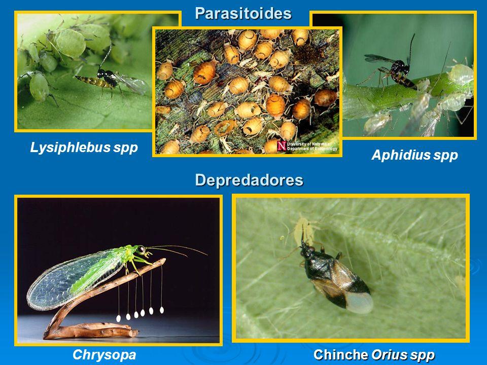 Parasitoides Depredadores Lysiphlebus spp Aphidius spp Chrysopa