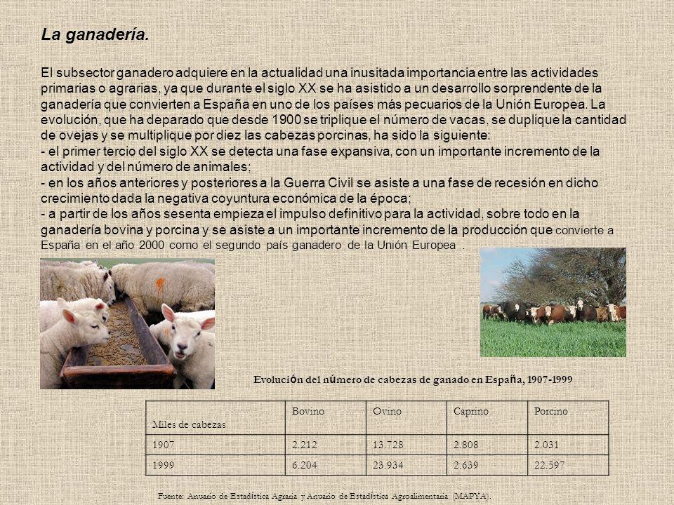 La ganadería. El subsector ganadero adquiere en la actualidad una inusitada importancia entre las actividades primarias o agrarias, ya que durante el siglo XX se ha asistido a un desarrollo sorprendente de la ganadería que convierten a España en uno de los países más pecuarios de la Unión Europea. La evolución, que ha deparado que desde 1900 se triplique el número de vacas, se duplique la cantidad de ovejas y se multiplique por diez las cabezas porcinas, ha sido la siguiente: - el primer tercio del siglo XX se detecta una fase expansiva, con un importante incremento de la actividad y del número de animales; - en los años anteriores y posteriores a la Guerra Civil se asiste a una fase de recesión en dicho crecimiento dada la negativa coyuntura económica de la época; - a partir de los años sesenta empieza el impulso definitivo para la actividad, sobre todo en la ganadería bovina y porcina y se asiste a un importante incremento de la producción que convierte a España en el año 2000 como el segundo país ganadero de la Unión Europea .