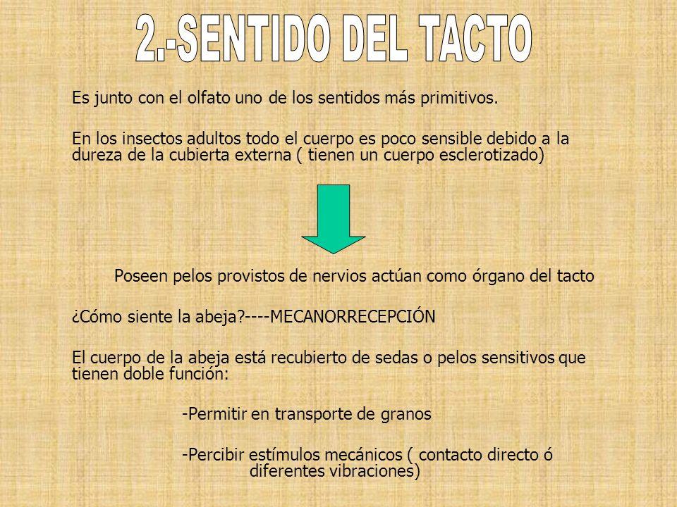 2.-SENTIDO DEL TACTOEs junto con el olfato uno de los sentidos más primitivos.