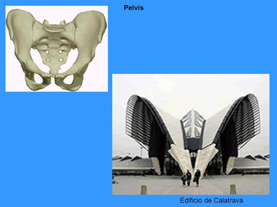 Pelvis Edificio de Calatrava