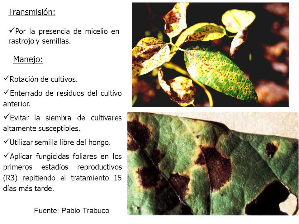 Transmisión:Por la presencia de micelio en rastrojo y semillas. Manejo: Rotación de cultivos. Enterrado de residuos del cultivo anterior.