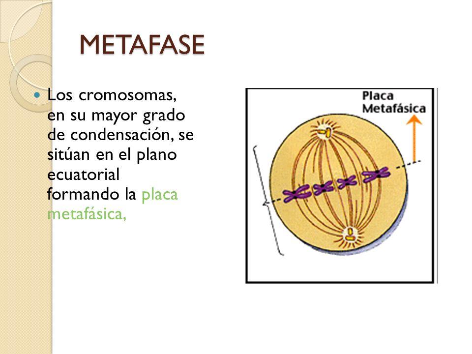 METAFASELos cromosomas, en su mayor grado de condensación, se sitúan en el plano ecuatorial formando la placa metafásica,