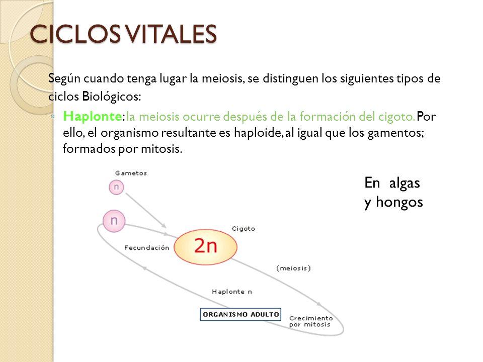 CICLOS VITALES Según cuando tenga lugar la meiosis, se distinguen los siguientes tipos de ciclos Biológicos: