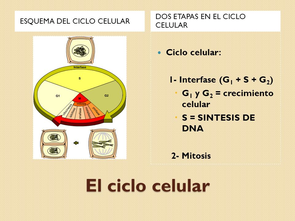 El ciclo celular Ciclo celular: 1- Interfase (G1 + S + G2)