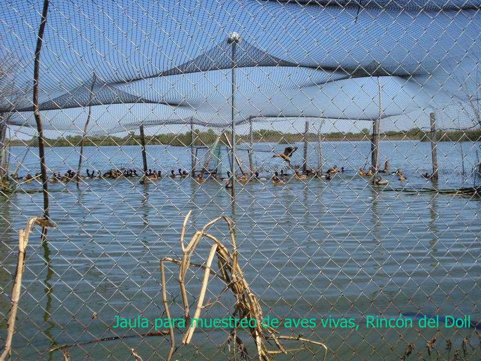 Jaula para muestreo de aves vivas, Rincón del Doll