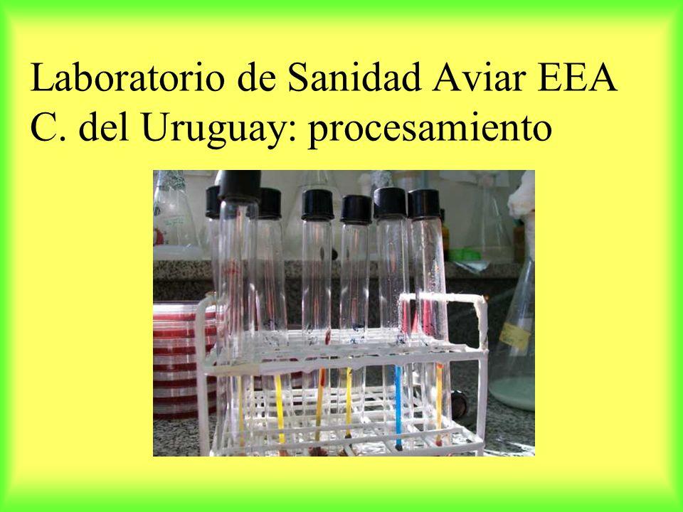 Laboratorio de Sanidad Aviar EEA C. del Uruguay: procesamiento