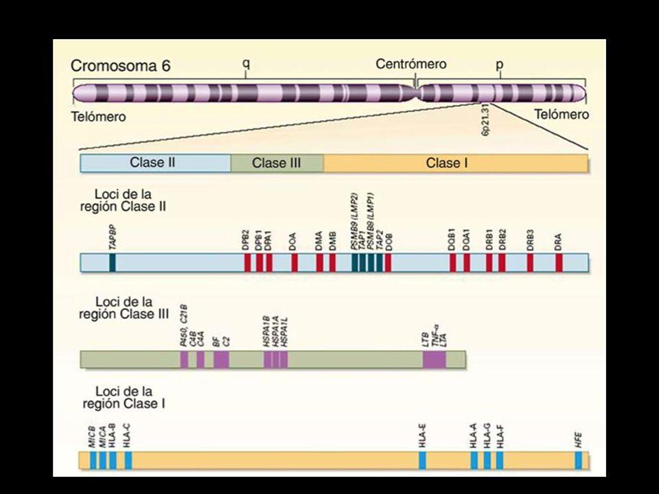 El MHC es un complejo de genes cuyos productos moleculares han sido estudiados en forma extensa, tanto en el ratón como en el humano.