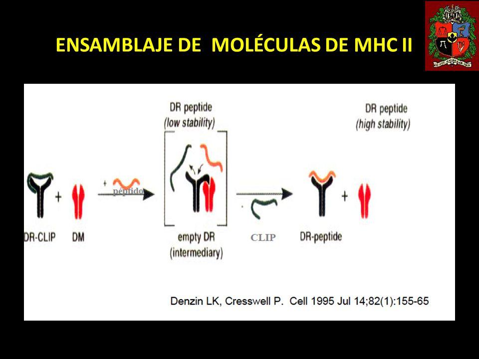 ENSAMBLAJE DE MOLÉCULAS DE MHC II