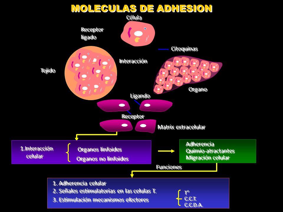 MOLECULAS DE ADHESION Cel Cel Cel Célula Receptor ligado Citoquinas