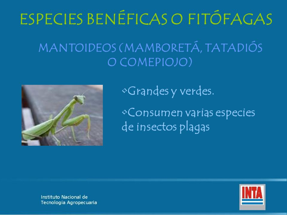 ESPECIES BENÉFICAS O FITÓFAGAS MANTOIDEOS (MAMBORETÁ, TATADIÓS