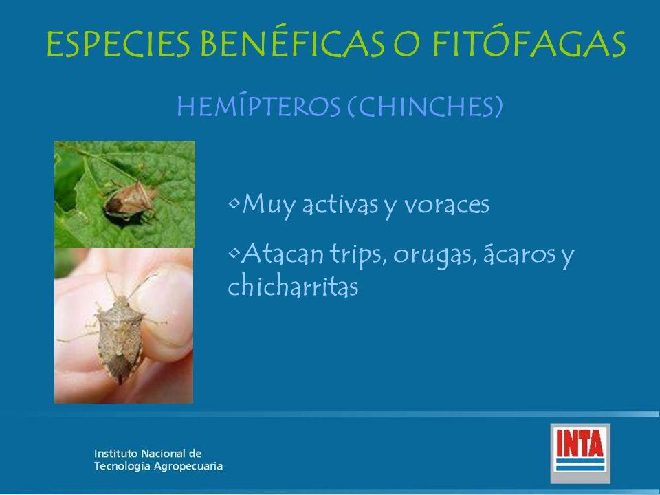 ESPECIES BENÉFICAS O FITÓFAGAS HEMÍPTEROS (CHINCHES)