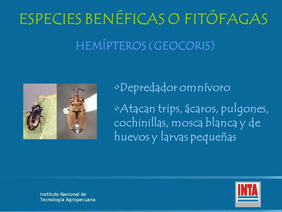 ESPECIES BENÉFICAS O FITÓFAGAS HEMÍPTEROS (GEOCORIS)