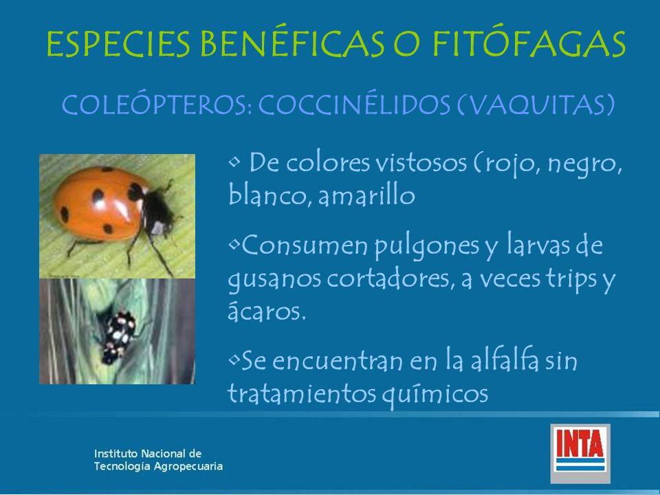 ESPECIES BENÉFICAS O FITÓFAGAS COLEÓPTEROS: COCCINÉLIDOS (VAQUITAS)