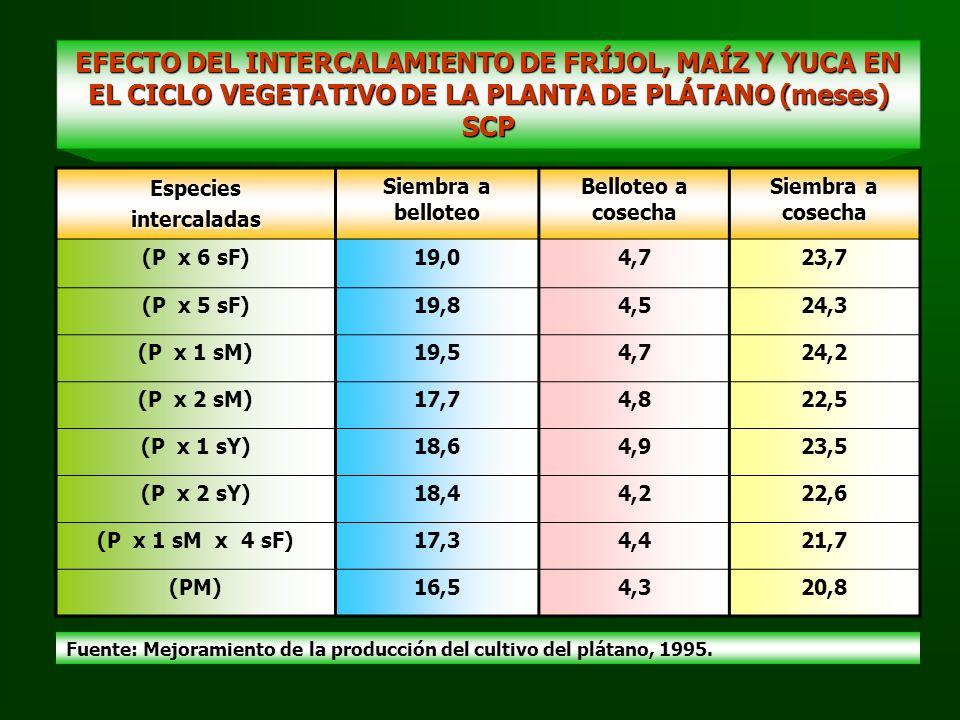 EFECTO DEL INTERCALAMIENTO DE FRÍJOL, MAÍZ Y YUCA EN EL CICLO VEGETATIVO DE LA PLANTA DE PLÁTANO (meses) SCP