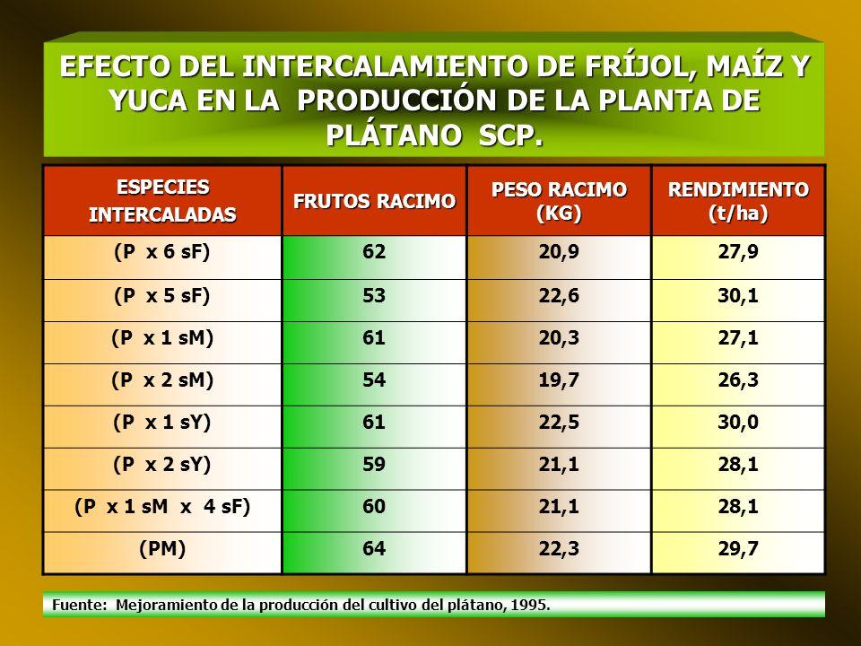 EFECTO DEL INTERCALAMIENTO DE FRÍJOL, MAÍZ Y YUCA EN LA PRODUCCIÓN DE LA PLANTA DE PLÁTANO SCP.